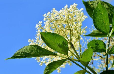 Bazový kvet