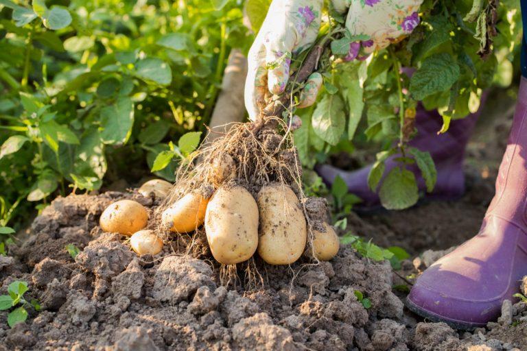 Ako dopestovať zemiaky